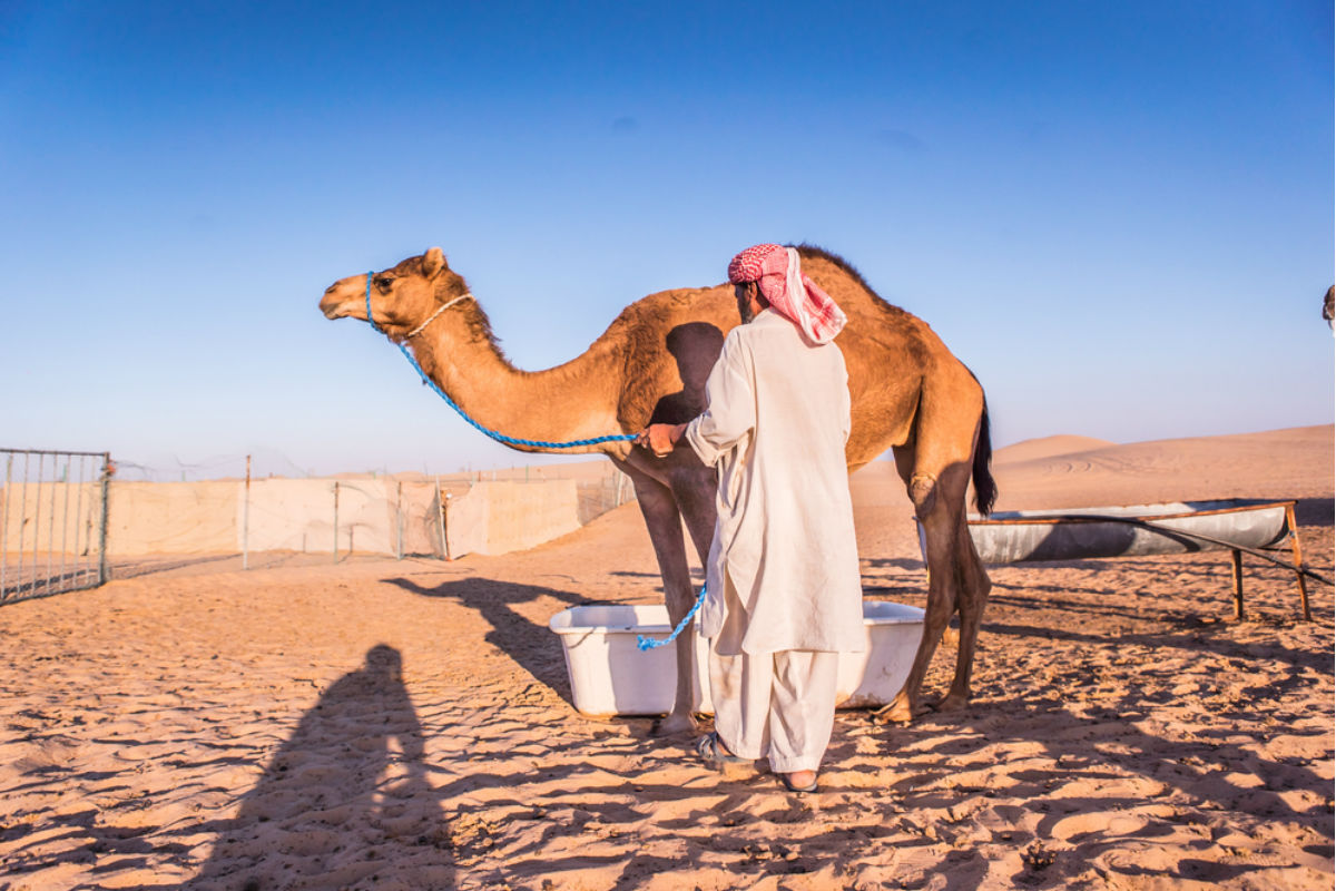 camello desierto leche