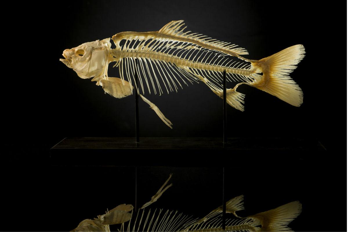esqueleto pez taxidermia