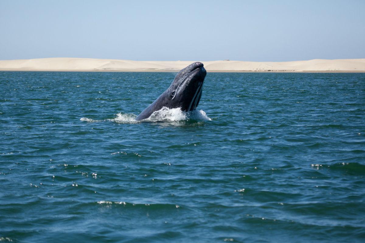 ballena azul mexico playa baja california sur