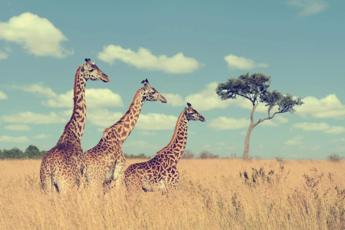 jirafa kenia africa naturaleza vida salvaje
