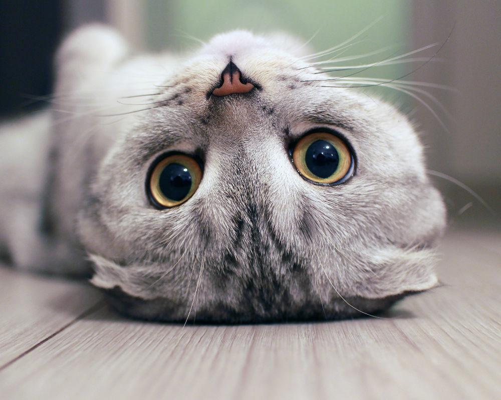 conoce-gatos-más-caros-mundo